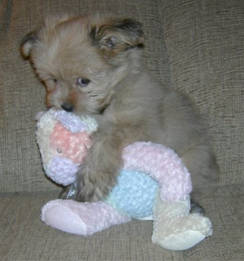 Cute puppy with stuffed toy